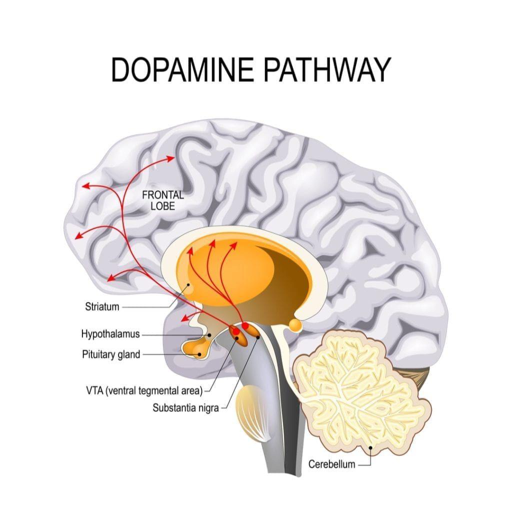 dopamine pathway in the brain